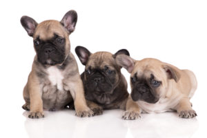 three adorable french bulldog puppies on white